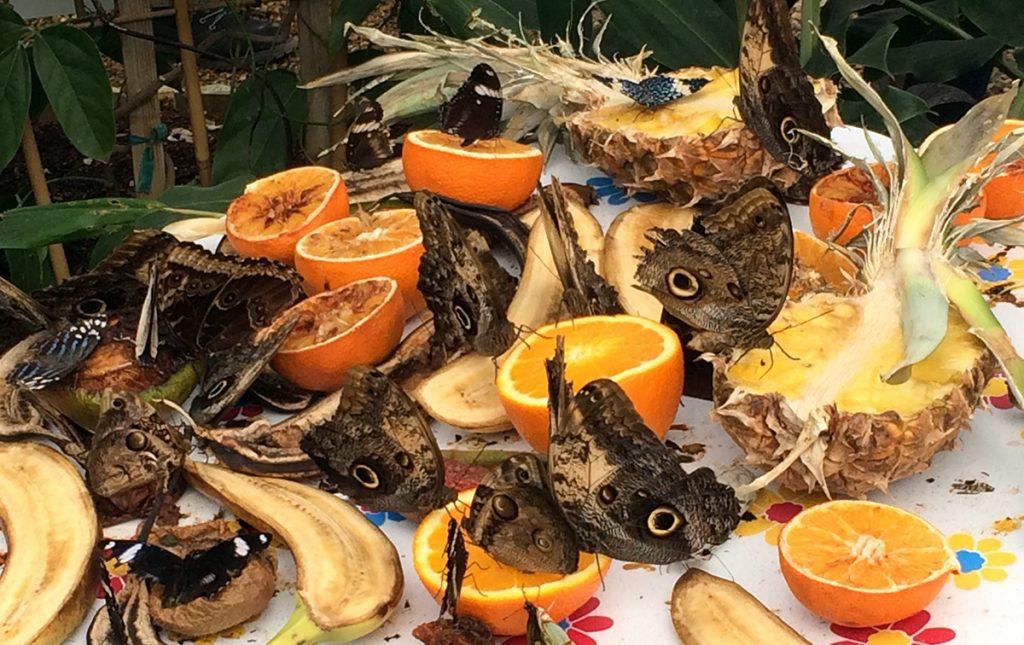 'Food Stations', Tische mit aufgeschnittenem, süßem Obst, das die Schmetterlinge magisch in Scharen anzieht - ein Festmahl!