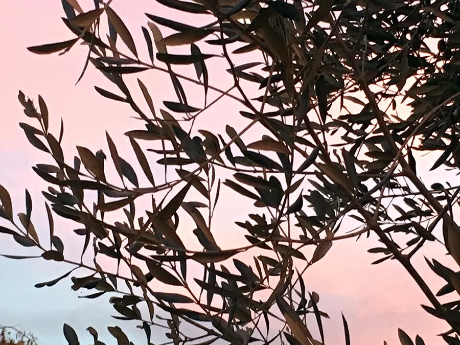 Olivenzweige auf 'Il Torrino' im Abendlicht der Toskana. Hach!