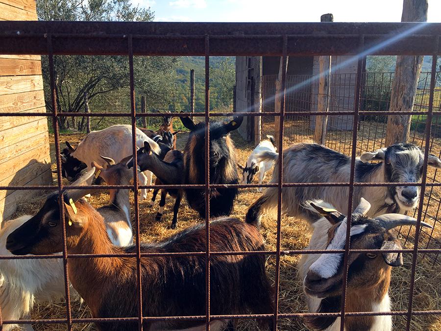 ... und die frechen Ziegen natürlich auch.