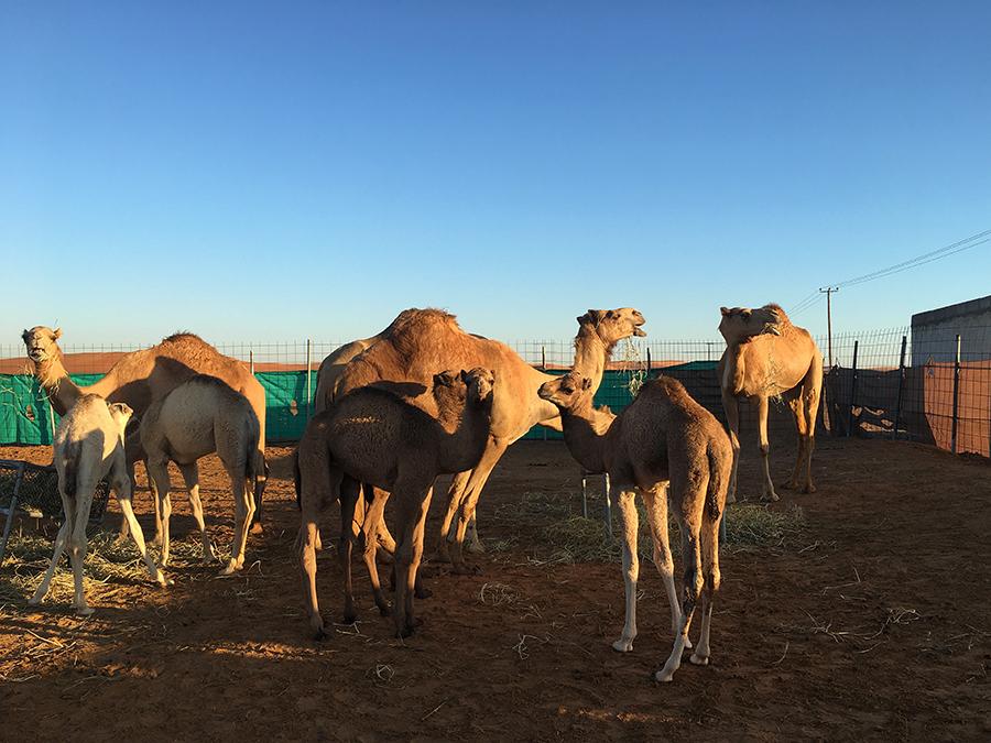 Oooooh, Baby-Kamele! Und die sind auch schon voll groß.