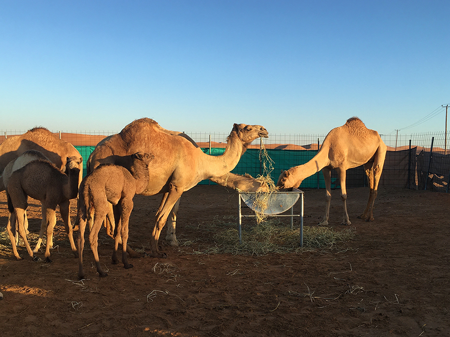 Endlich Frühstück! Die frischgebackenen Kamel-Mütter haben schließlich Hunger!