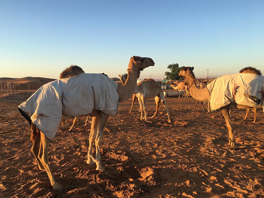Die Kamele sind auch gerade erst aufgewacht...