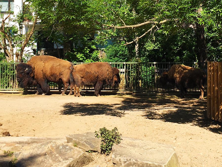 Nordamerikanische Bisons sind schon unglaublich beeindruckend! Was für Kolosse!