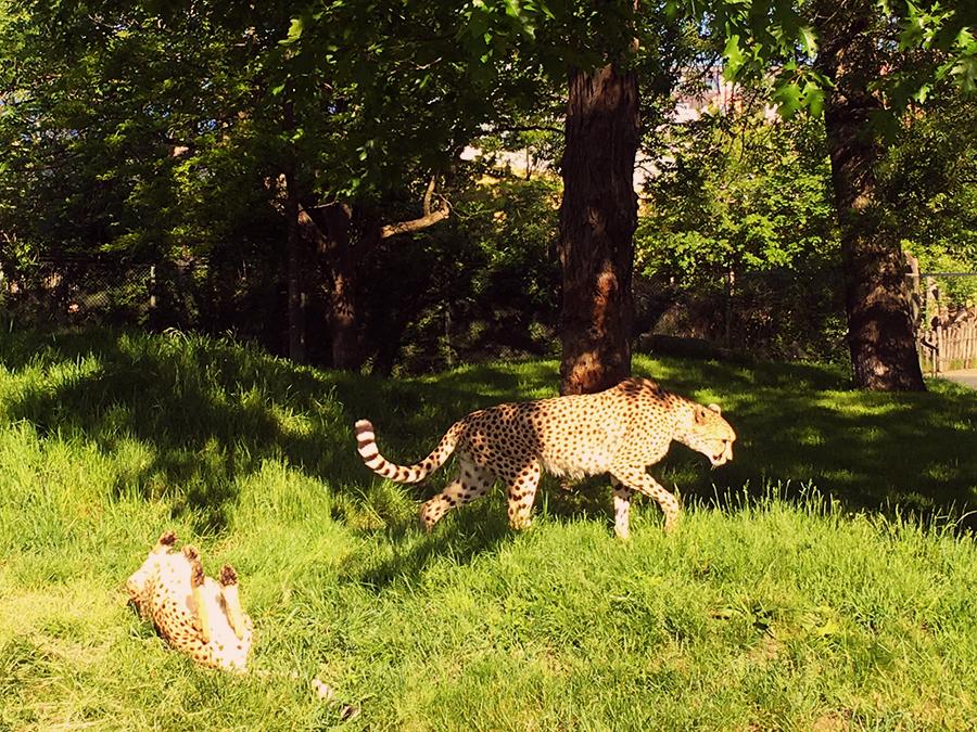 ... selbst die scheuen Geparden zeigen sich heute...