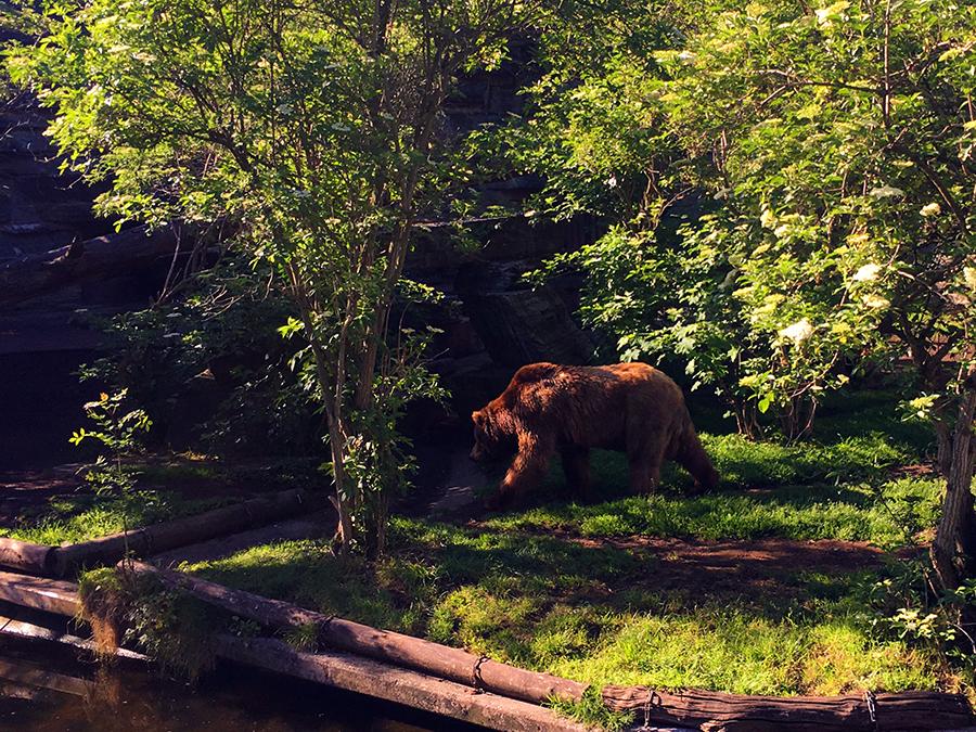 ...und auch einen kurzen Blick auf den Grizzlybären können wir erhaschen.