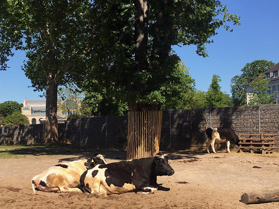 Auch Kühe kann man hier aus der Nähe sehen.