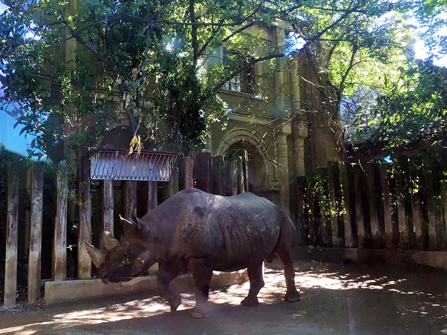 Das bekommt man nur selten vor die Linse: Das Nashorn hinter dickem Sicherheitsglas.