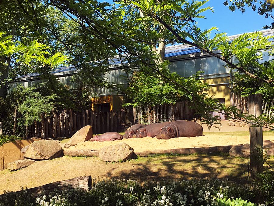 Die Nilpferde genießen vor ihrem Hippdom die Sonne - samt Nilpferdbaby.