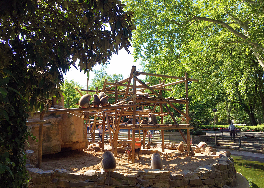 Hier gibt es immer etwas zu gucken: Am Affenfelsen im Kölner Zoo.