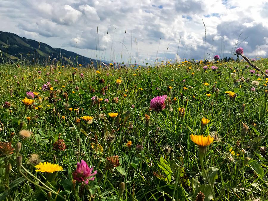 ...und noch viel mehr blühen gemeinsam auf den Bergwiesen rund um den Hündle.