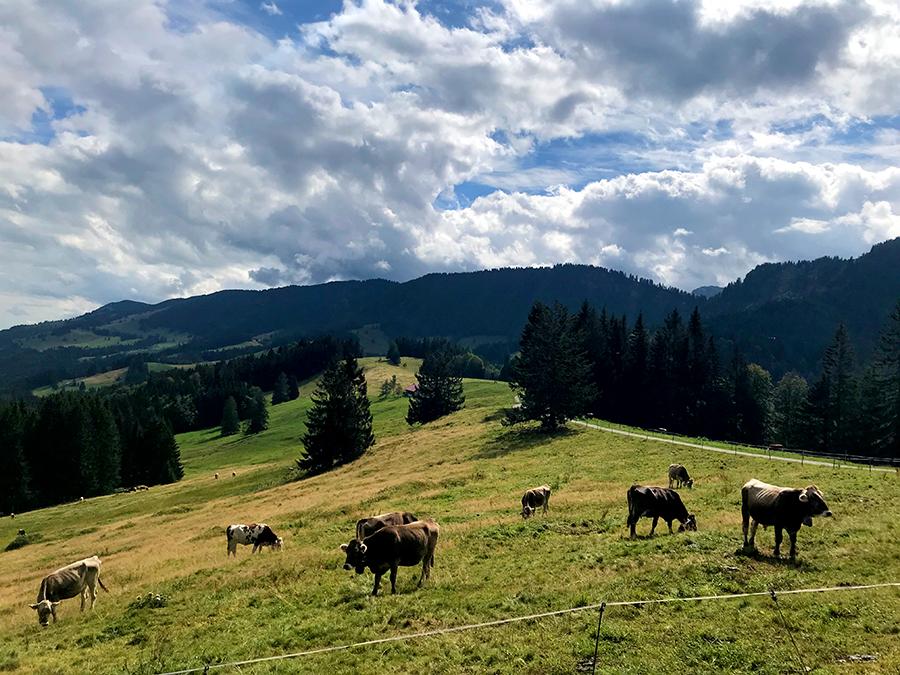 Jede Menge Kühe treffen wir auf unserem Weg.